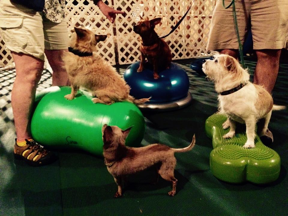 Dogs using canine conditioning equipment.