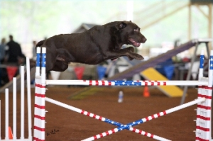 Mudd during an agility trial.